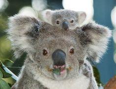 Baby Koala on Mom's back