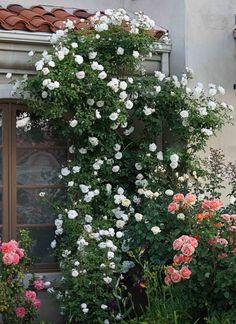 Rosa 'Iceberg'   white climbing rose