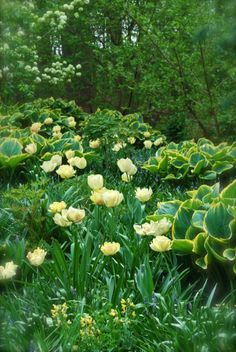 Tulipa 'Akebona' and Hosta 'Tokudama' tumbling down the hill beside Asian Woods. ~WMG blog