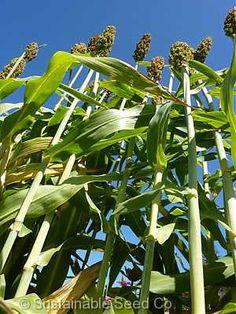 Rox Orange Syrup Cane - Heirloom Seeds: Sustainable Seed Company