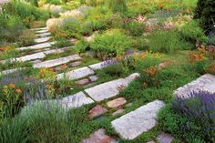 stone steps. The gravel garden provides a model for effective planting of an open and sunny slope. Gardeners added sand and gravel to the native clay and created a journey down and through a sun-loving medley of perennials, grasses, and herbs. In June, varieties of lavander, thyme, and the Mexican feather grass Nassella tenuissima provide plant structure.