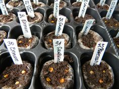 planting Capcisum Baccatum, Pubescens and Wild pepper seeds.