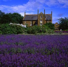 Norfolk Lavender @ Caley Mill, Heacham, England