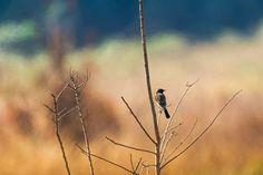 back of siberian stonechat asian stonechat old world flycatcher bird
