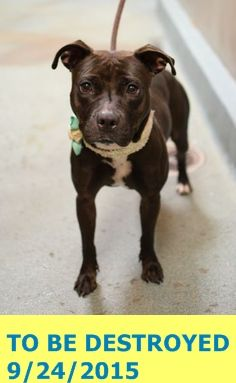 Brooklyn Center   My name is LADYBUG. My Animal ID # is A1051904. I am a female black and white pit bull mix. The shelter thinks I am about 1 YEAR  I came in the shelter as a STRAY on 09/18/2015 from NY 11208, owner surrender reason stated was STRAY. http://nycdogs.urgentpodr.org/ladybug-a1051904/