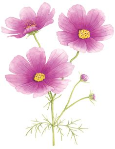 https://flic.kr/p/jPt6pH | cosmos | Cosmos illustration for Australian House & Garden magazine. © Allison Langton