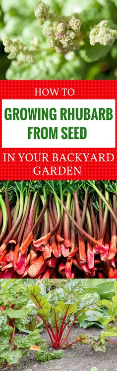 Learn the best ways to grow rhubarb from seed in your very own backyard garden and get ready for an abundant harvest. Read more at: https://gardenambition.com/growing-rhubarb-from-seed/