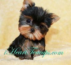 Micro Teacup Yorkie Full Grown Google Search Teacup Yorkie Yorkshire Terrier Puppies Yorkie