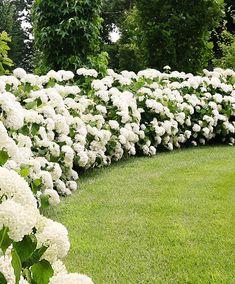 Hydrangea 'Strong Annabelle' | Trees and Shrubs from Bakker Spalding Garden Company #gardenshrubsborder