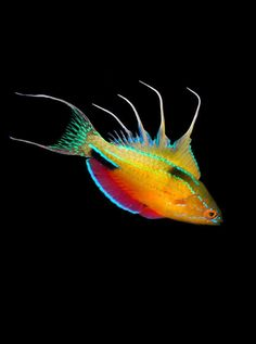 Paracheilinus-nursalim - the most brightly coloured fish on the reef