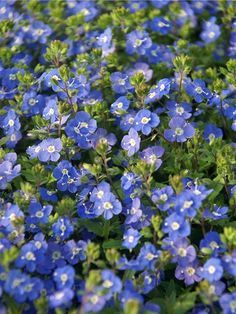 Veronica peduncularis (or umbrosa) 'Georgia Blue' AKA Speedwell, an easy perennial groundcover.