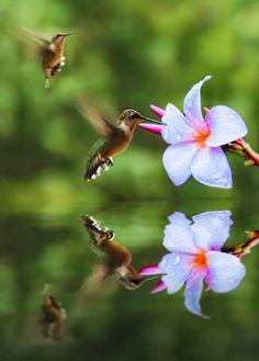 Racing competition between Hummingbirds