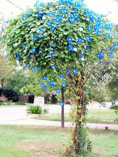 Idea for a small dead tree - morning glory tree (or some other vine)