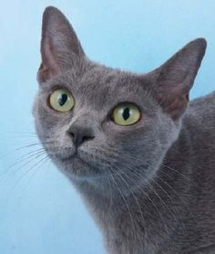 Discover The Russian Blue Cats - Cat's Nine Lives Rare Cats, Exotic Cats, Cats And Kittens, Korat Cat, Purebred Cats, Russian Blue, Domestic Cat, Cat Breeds, Animaux