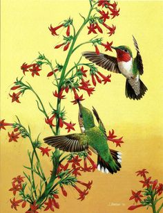 bird print hummingbird print broad tailed hummingbirds vintage audubon book plate print