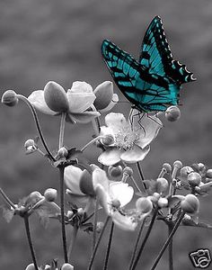 Black White Teal Butterfly On Flower Wall Art Matted Picture