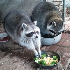 Hope stretching out her #raccoonhands ♡_♡  #timetoeat #pickitup #hands #outstretchedarms #stretching #cutepet #lunchtime #lunchfortwo #sisters #coon #raccoon #mapache #waschbär #trashpanda #raccoonsofinstagram #petsofinstagram #ladylike #tablemanners #girlyhands #paws