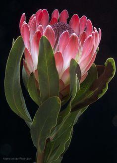 Proud Protea by Martha van der Westhuizen on Protea Art, Flor Protea, Protea Flower, Tropical Flowers, Tropical Garden, Exotic Flowers, Amazing Flowers, Beautiful Flowers, Flor Magnolia