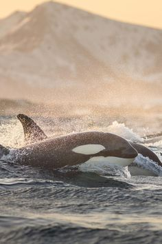 Untitled | AnjaBroto - orcas coming up for air!