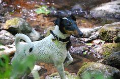 Love Fox Terriers! dömörkapu kir. 058 by lillaladybird, via Flickr