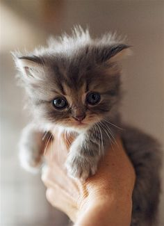 """♥ weeks"""" by Amanda K Cute Cats And Kittens, Baby Cats, Kittens Cutest, Ragdoll Kittens, Funny Kittens, Bengal Cats, Kitty Cats, Cute Little Animals, Cute Funny Animals"""