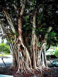 1830_Trunk of a Banion Tree at Captiva Island   Flickr - Photo Sharing!