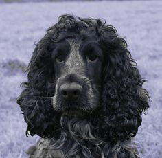 cocker spaniel blue roan - Google Search