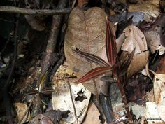 Jewel Orchid A | Flickr - Photo Sharing!