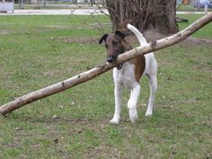SMOOTH FOX TERRIER Yep, this dog always thought he was bigger than life, and could do anything a larger dog could do.