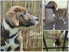 """ON THE EUTH LIST! NEEDS RESCUE NOW! MOBILE, AL! """"RESCUE ONLY"""" BRUTIS A053518 5 month old (still has puppy teeth) intact male brindle Plott Hound mix. """"Rescue only"""" means that MCAS will not adopt them directly to the public at the facility BUT email info@sssdurgent.com and a rescue can pull for an approved adopter or local foster. He's scared & deemed rescue only because of that. https://www.facebook.com/photo.php?fbid=691865857533369&set=a.193103557409604.60105.193102227409737&type=1&theater"""