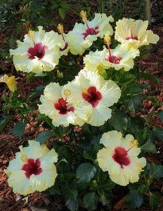 My Favorite Hibiscus Hibiscus Plant, Hibiscus Flowers, Tropical Flowers, Hibiscus Bush, Tropical Gardens, Tropical Plants, Amazing Flowers, My Flower, Pretty Flowers