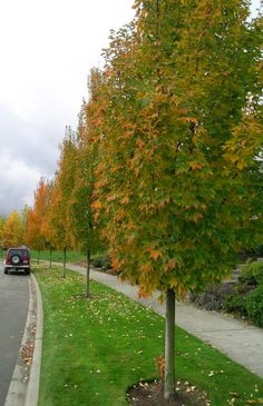 armstrong maple - Yahoo Image Search Results