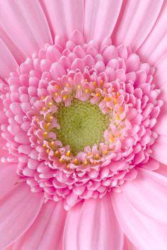 Pink Gerbera ❤                                                                                                                                                     More