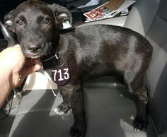 This DOG - ID#A463554 - located at Harris County Animal Shelter in Houston, Texas - 9 WEEK OLD Male Lab Retriever mix - at the shelter since Jul 11, 2016.