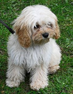 tibetan terrier. id take one of these instead of a ring for sure