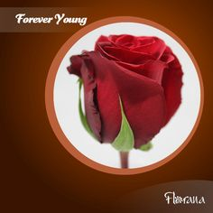 Meet our deep velvety red rose, Forever Young. Check out the rest of the red rose category here: www. Organic Roses, Forever Young, Red Roses, Rest, Check, Flowers, Florals, Red Rose Flower, Flower