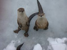 Otters are anticipating treats