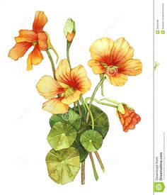 Illustration about Watercolor with nasturtium on white. Illustration of bouquet, orange, flowers - 36356298 Flora Flowers, Botanical Flowers, Botanical Prints, Orange Flowers, Botanical Drawings, Botanical Illustration, Watercolor Illustration, Watercolor Flowers, Watercolor Paintings