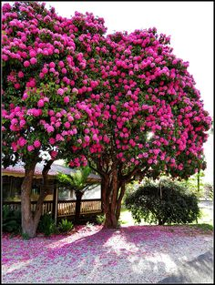 Pink Rhododendron tree at Marysville Beautiful Landscapes, Beautiful Gardens, Beautiful Flowers, Beautiful Places, Unique Trees, Colorful Trees, Nature Tree, Flowers Nature, Garden Trees