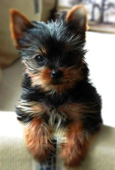 yorkie... Aww want him!!!!  ❤ so so so so so so so so so so so so so cute