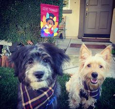 We definitely can't wait for Turkey Day! Today we're thankful for each other and our rad matching bandanas from @terrahound  #Paws4Thanks #UnleashedByPetco #givethanks ---------------------------------------------------- #busterthepupster #wiltonstilts #buzzfeedanimals  #dogsofinstagram #mydogiscutest #lacyandpaws #petsofinstagram #puppy #puppies #puppiesofinstagram #dog #dogs #dogsofinstagram #mutt #mutts #muttsofinstagram #mysterymutt #terrier #terriersofinstagram #terriermix #shepherd…