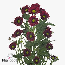Chrysanthemum Santini Marek is a red variety of miniature santini chrysanthemum with a lime green centre. All santini chrysanths are multi-headed, 55cm tall & wholesaled in 25 stem wraps. A superb flower with endless possibilities in floristry.