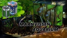 Maanvissen aquarium amazone zoetwatervissen #aquarium Aquarium, Riding Habit, Aquarius, Fish Tank