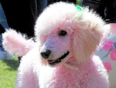 This pink poodle took part in the pet fashion show at the 2007 Cherry Blossom Festival in Macon, Georgia.   by Chris Overcash