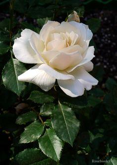 ~Floribunda rose 'Edelweiss', Poulsen,Denmark,1970
