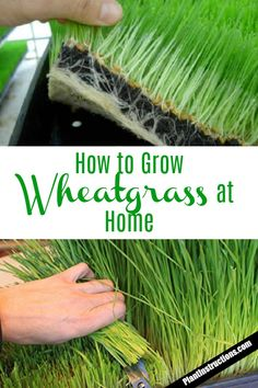 Growing wheat grass - How to Grow Wheatgrass at Home Growing Microgreens, Growing Herbs, Growing Vegetables, Gardening For Beginners, Gardening Tips, Pasto Natural, Growing Wheat Grass, Cat Grass, Gardens