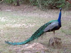 This peacock was one of many in Wilpattu National Park, Sri Lanka. Sri Lanka, Peacock, National Parks, Animals, Animaux, Peacocks, Animal, Animales, Peafowl