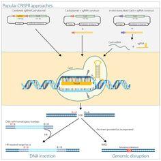CRISPR and Cas9 for Flexible Genome Editing— CRISPR RNAs Make Targeted Gene Editing Easy