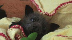 Baby bat's ears