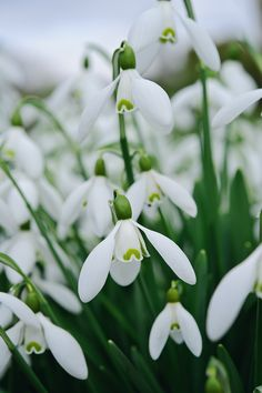 Galanthus 'Straffan'. Photo by Jason Ingram. Gardens Illustrated February 2013